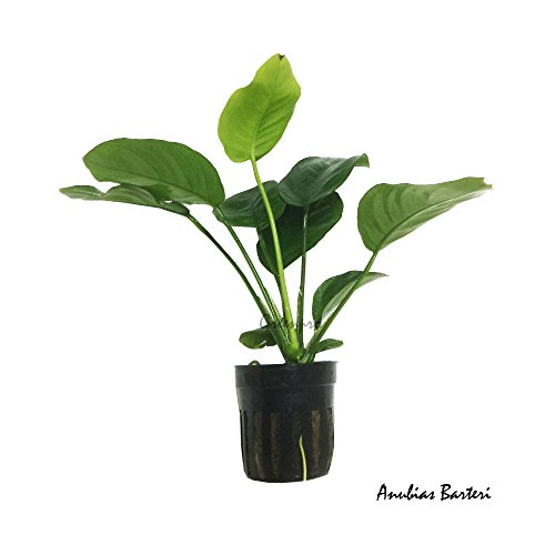 Greenpro Anubias Barteri Live Aquarium Plants Decoration for Aquatic Water Plants Freshwater Fish Tank