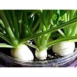 小カブ 養液栽培 簡単キット