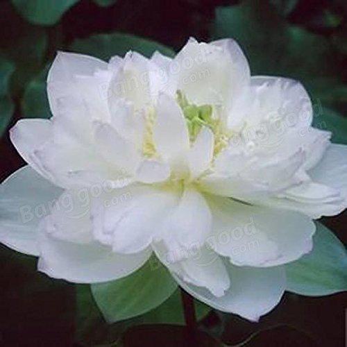 Bazaar 10pcs blanc graines bol de lotus jardin plante aquatique