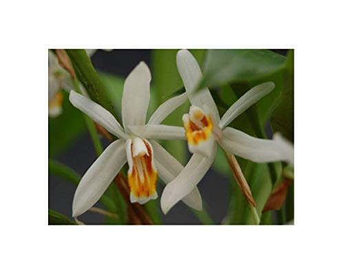 Stk - 1x Coelogyne huettneriana weiß orange gelb Mitte Orchidee OW45 - Seeds Plants Shop Samenbank Pfullingen Patrik Ipsa