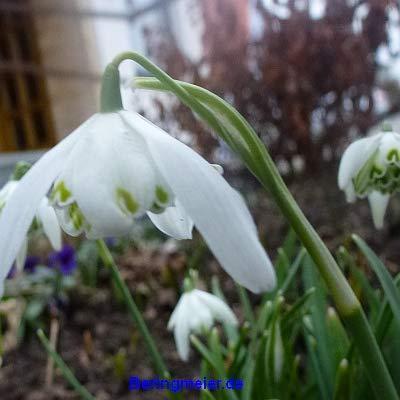 Blumenzwiebeln Schneeglöckchen Galanthus nivalis Flore Pleno; Schneeglöckchen mit gefüllter Blüte (50 Zwiebeln)