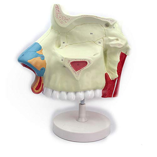 N \ A Anatomiemodell Der Menschlichen Nasenhöhle - 3-fache Vergrößerung Medizinisches Modell - Abnehmbares Anatomisches Gehirnmodell Bildungsmodell Für Den Anatomieunterricht