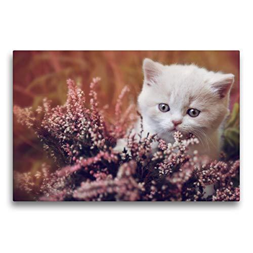 Premium Textil-Leinwand 75 x 50 cm Quer-Format BKH Katzenkind creme-white | Wandbild, HD-Bild auf Keilrahmen, Fertigbild auf hochwertigem Vlies, Leinwanddruck von N N