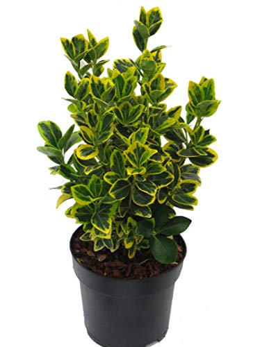 Euonymus japonicus 'Marieke' gelb-grüne...