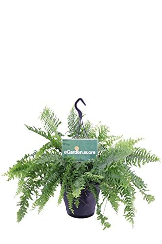 Pianta di Felce di Boston pianta di Nephrolepis pianta da interno pianta da appartamento pianta Ornamentale pianta vera di Felce venduta da eGarden.store (Felce di Boston vaso 16)