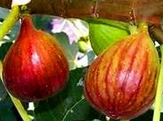 Fresh Brown Turkey Fig Unrooted Cutting (1), 6-8