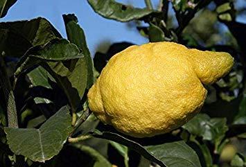 Potseed Keimfutter: Zitrone - Amalfiküste - Sfusato Amalfitano - Italienisch Herkunft - 10 Samen