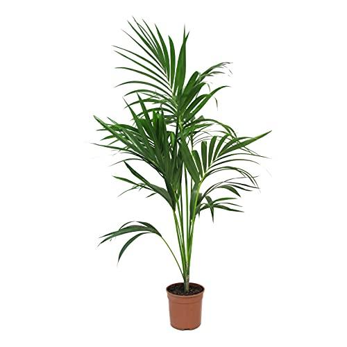 KENTIS - Howea Forsteriana Kentia - Palma - Piante da Interno Vere - H 100-120 cm Vaso Ø 20 cm