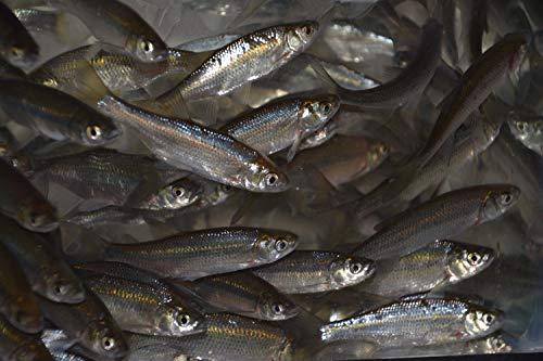 I.F. Anderson Farms 1 1/2' Golden Shiners (4 lbs)