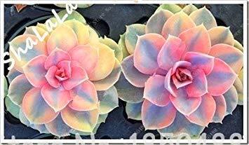 prime vista 100 Garten-Gewächshaus-Kaktus-Samen-seltene saftige beständige Kraut-Anlagen, Bonsais-Topf-Blumensamen, Innenanlage absorbieren Formaldehyd 16
