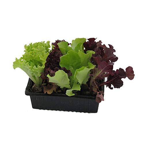 Salatjungpflanzen, Salatjungpflanzen 10er Set , Lactuca sativa var. capitata