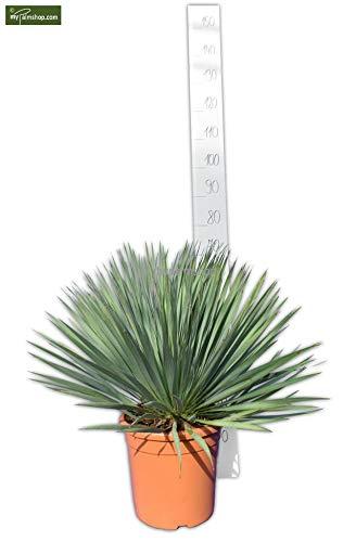 Yucca rostrata - Blaublättrige Yucca - verschiedene Größen (70-80cm - Topf Ø 28cm)