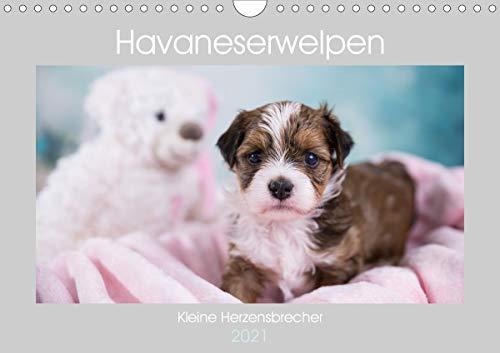 Havaneserwelpen - Kleine Herzensbrecher (Wandkalender 2021 DIN A4 quer)