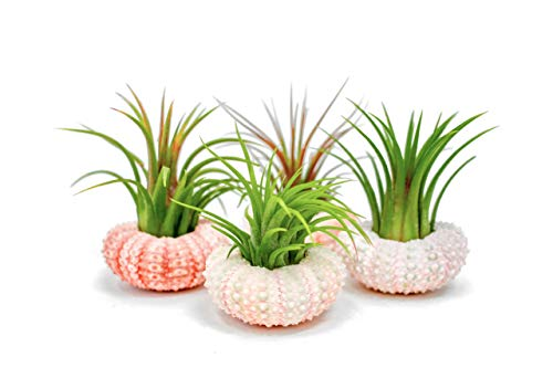 Air Plant Sea Urchin Kit (3 Pack) - Natural Shell Containers/Holders for Live Tillandsia - Pink Stand/Jellyfish Pot for Indoor Home Decor by Aquatic Arts