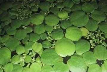 Mühlan Wasserpflanzen 10 x Froschbiss (Limnobium laevigatum), Südamerika