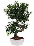 Bonsai Ficus microcarpa 'Ginseng' (S shape) in ceramica tonda bassa Ø23 Cm./H 60 Cm.