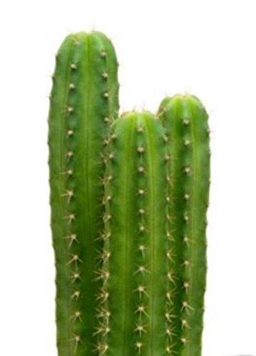 20 San Pedro Cactus Semi Trichocereus pachanoi Cerimoniale pianta decorativa