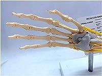 人間の肘関節の筋肉腱モデル-教育モデル神経靭帯を備えた人間の筋肉肘関節モデル-教育のための人間の骨格の頭蓋骨の手関節モデル