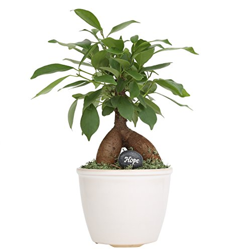Costa Farms Mini Bonsai Live Indoor Tree Tabletop Plant, White Ceramic Planter, Mini Bonsai