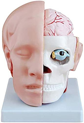 QBNG Menschlicher Kopf mit Gehirn Und Gehirnarterie-Modell, Kopfmodell Unterteilt in 10 Teile