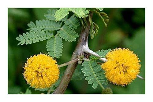 Acacia farnesiana - Cassie odorante - 50 graines