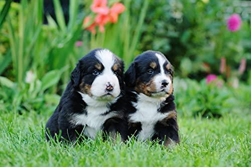 VLIES Fototapete-BERNER SENNENHUNDE-(1215sp)-250x186 cm-Hund Welpe Haushund Haustier Nutztier Tier Dekor Wandbild Wandtatoo Poster Moderne Tapete Bildwand
