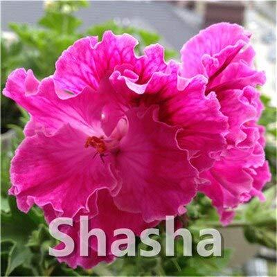 SANHOC Bonsai Geranium 100 Stück Japanische Gelb Ppleblossom Rosebud Pelargonium blühende Geranien Balkonpflanze Für Hausgärten: 14