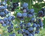 Bloom Green Co. ¡Venta!100 Unids/bolsa Arándano Bonsai Planta de Fruta de Fruta Orgánica Comestible Enano Arándano Bonsai Ãrbol Planta en Maceta Para Jardín de Casa: 19