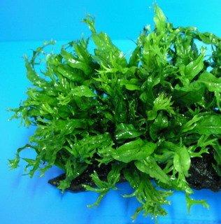 WFW wasserflora Javafarn WINDELOV/Microsorum pteropus Windelov - Topf
