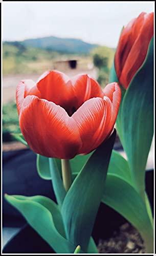 Bulbos de Tulipanes,Lindo,Hermoso Joven,Jardín Colorido,Los Rizomas De Flores Sólidas Carismáticos Y Encantadores Son Brillantes Y Deslumbrantes-3 Bulbos,1