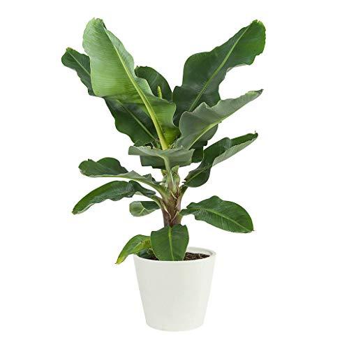 Bananier | Plante vivace verte | Plante d'intérieur | Hauteur 80 cm | Pot 27 cm | Musa Dwarf Cavendish | (ECOPOTS Blanc)