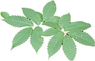 American Chestnut Tree - Hybrid - Castanea dentata X mollissima - Heavy Established - 2 Gallon Potted -1 Plant by Growers Solution