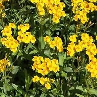 Mexican Mint- Tagetes Lucida- 50 Seeds - - BOGO 50% Off Sale