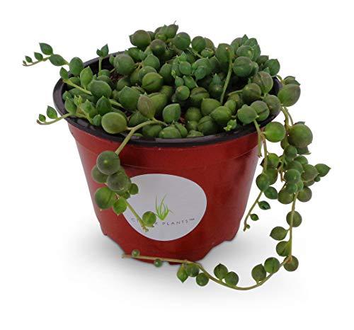 succulent plant 10cm Senecio herreianus String of Beads