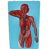 LUCKFY Riñón Humano Modelo del Sistema linfático con...
