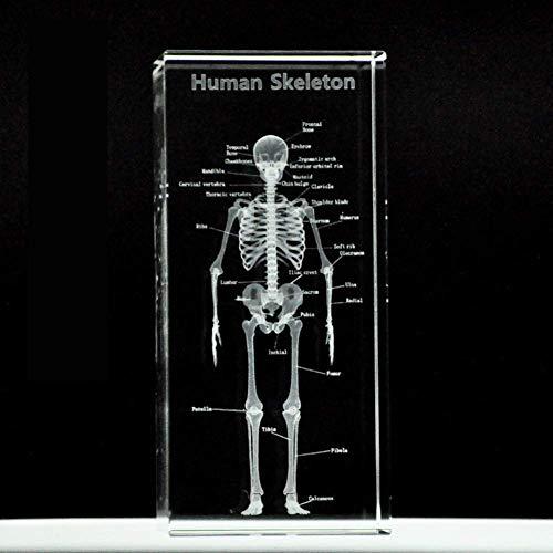 DDT Mensch Anatomisch Modell 3D Kristall Glas Menschlicher Knochen Briefbeschwerer Laser Geätzt Gehirn Modell Wissenschaft Geschenk (6 * 6 * 10 cm)