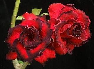 Portal Cool Paquete 2 Semillas Paquete de Rosy Adenium Obesum Hassadee Red Desert Rose Flores