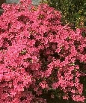 Azalea japonica Stewartoniana - 25-30 cm