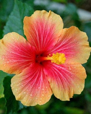 50PCS 24 couleurs différentes japonaises fleurs d'hibiscus en pot de graines de jardin bonsaï cour graines Hibiscus
