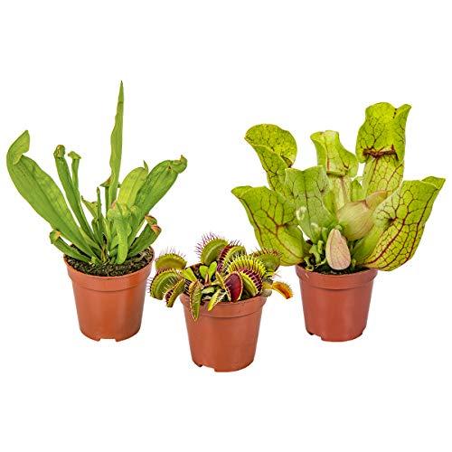 Fleischfressende Pflanzenmischung pro 3 Stück einstellen Innen- und Außenpflanze im Aufzuchttopf cm6 cm - 10-15 cm