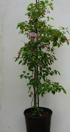 苗/苗木 ジューンベリー 樹高1.0m前後 21cmポット 株立ち 春に白い花が咲き、6月ごろ実がなります。 苗木 植木 苗 庭木 生け垣 1本 1