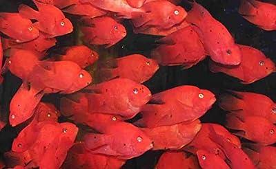 """3 Pack Purple Parrot Cichlids 2"""" Live Tropical Fish"""