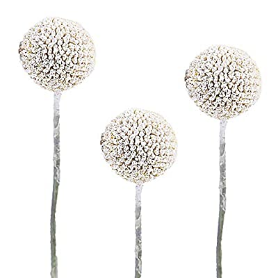 Craspedia White Painted   300 Stems Of White Billy Button Balls   Floral Arrangements For Delivery By Bloomingmore   Home, Office, Birthday, Wedding Decor, DIY, Party Event, Housewarming by Bloomingmore