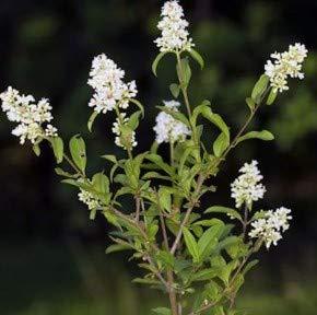 Zwergliguster 30-40cm - Ligustrum vulgare
