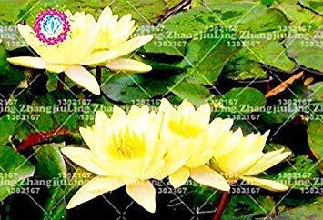 5pcs / bolsa de semillas de loto flor de loto Plantas acuáticas b loto semillas de nenúfar perenne planta para el jardín de 3