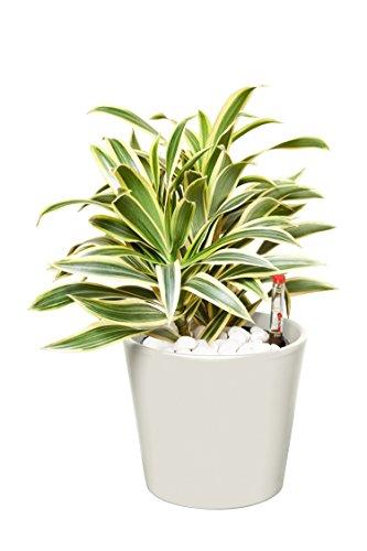EVRGREEN   Zimmerpflanze Drachenbaum in Hydrokultur mit cemefarbenem Topf als Set   Dracaena reflexa Song of India