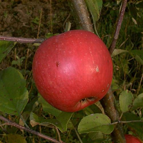 Herbstapfel Obstbaum Elstar Apfelbaum...