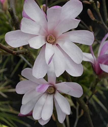 Sternmagnolie Rosea - Magnolia stellata...