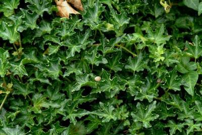 Classy Groundcovers, Hedera Helix 'Ivalace' (54 Pots, 2 1/2 inches Square)
