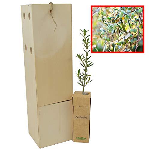Acebuche - Olivo - Arbolito de pequeño tamaño (1)